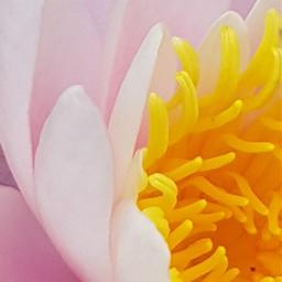 freetoedit seerose searose rose yellow