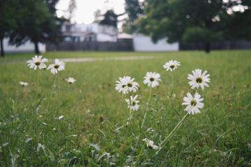freetoedit daisies flowers summer rain