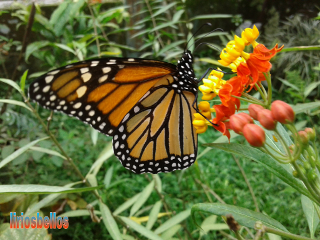 butterfly nature byliriosbellos fromcostarica purelife