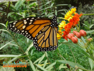 butterfly nature fromcostarica byliriosbellos life