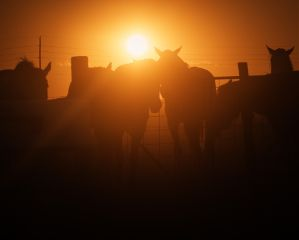 animals horses sunset kansas pretty