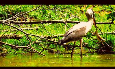 freetoedit pelican frog supper nature