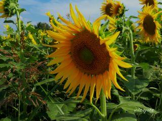 sunflower summer nature