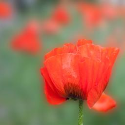 flowers poppy redflower naturephotography