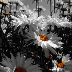 blackandwhite colorsplash flowers photography