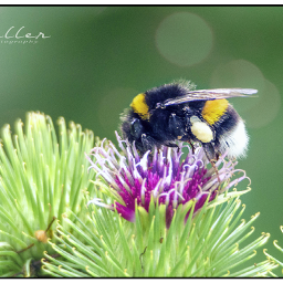 bee bumblebee insect nature distel