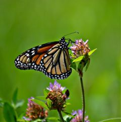 nature monarch butterfly naturephotography