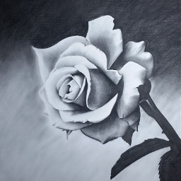 blackandwhite flower love pencilart my