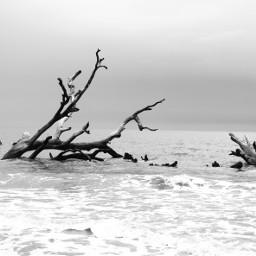 ocean drifteood blackandwhite monochrome simplequietlove freetoedit