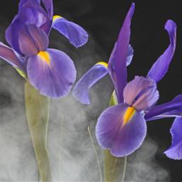 flowers iris purple vapour