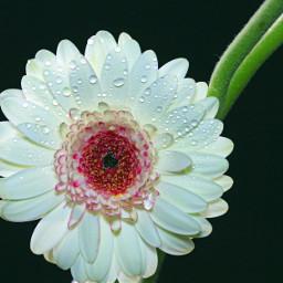 flower gerbera afterraining