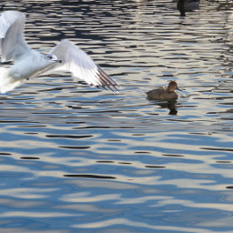 seagull lakemead naturephotography ripples reflection