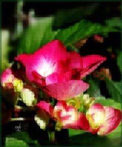 wappixelize have @csefi pixelizeart hortensie red wappixelize freetoedit