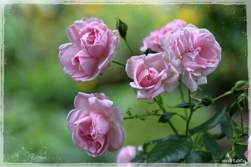 photography myphoto flower rose pink