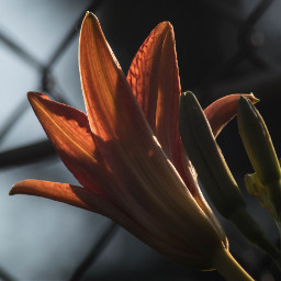 sunkissed lily nat nature flower