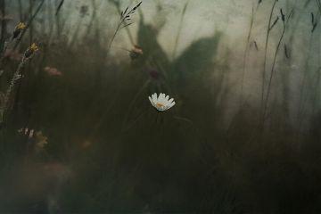nature swiss colorfull flower