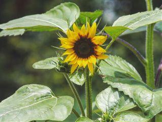 freetoedit sunflower nature