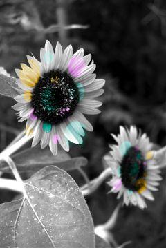 freetoedit blackandwhite sunflower