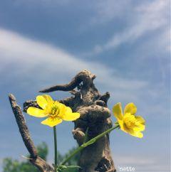 freetoedit buttercups driftwood againstthesky lowangle