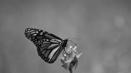 blackandwhite blackandwhitephotography nature butterfly