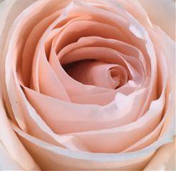 freetoedit nature flower rose pink