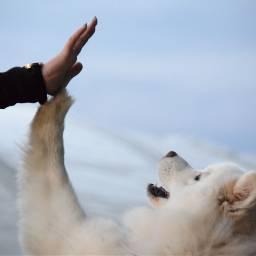 samoyed samojede dog sleddog nordicdog highfive sky five jump