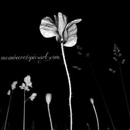 blackandwhite bnw poppy flower flowers