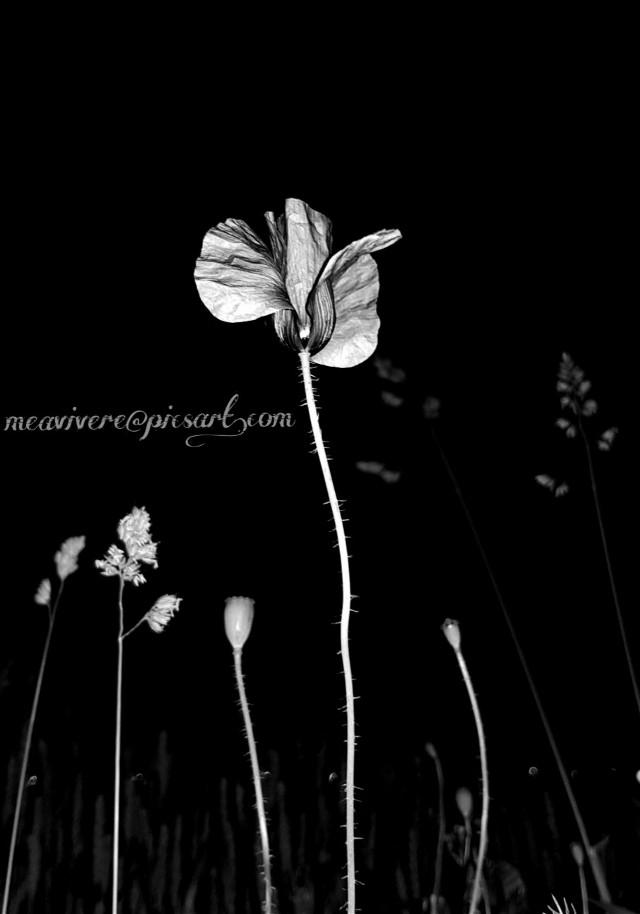 #blackandwhite #bnw #poppy #flower #flowers #floral  #bnwphotography #bnw #monochrome #black & white #black #night #nature