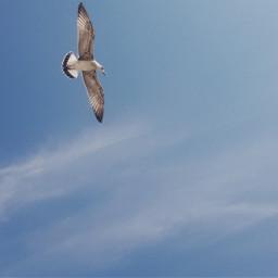 freetoedit skyphotography sky seagullinflight seagull