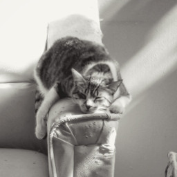 pccutepets cutepets cat sleep blackandwhite