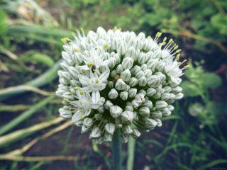 onion onionflower dodger flower