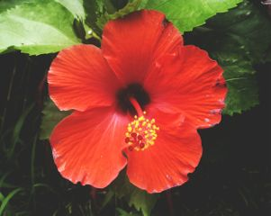 freetoedit red hibiscus photography flower