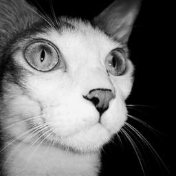 freetoedit cat meow