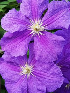 clematis flowers blossoms bloom naturephotography