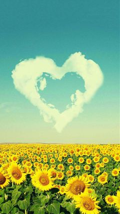 sunflowers dpcsunflowers