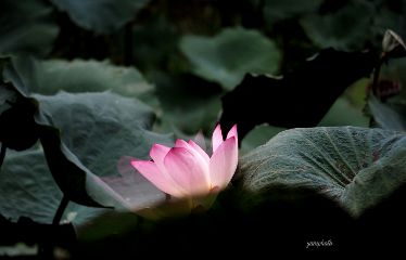 lotus nature photography