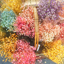 baby gypsophila flower colorful