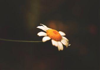 freetoedit macro daisy flower nature