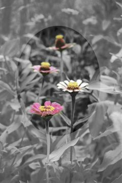 freetoedit blackandwhite color pink flower