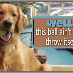 dog goldenretriever ball fetch dogs freetoedit
