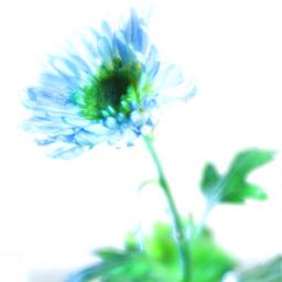 flower mum blue impressionist highkey