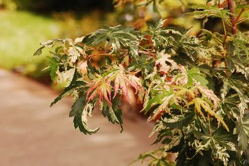 tree foliage japanesemaple photonikon