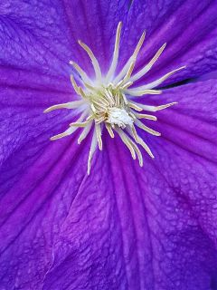 clematis flower blossom bloom naturephotography