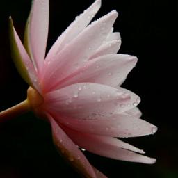 freetoedit searose nature oldphoto flower