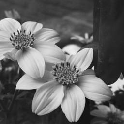 blackandwhitephotography naturephotography flowers blossom beautyinnature