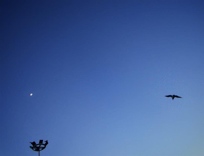 #sky  #seagull #blue #moon