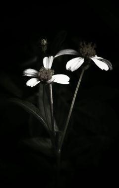 flower blackandwhite closeup mood emotion