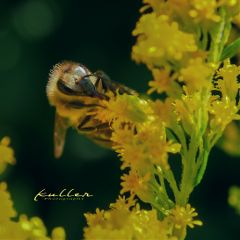 bee insect insekt biene nature