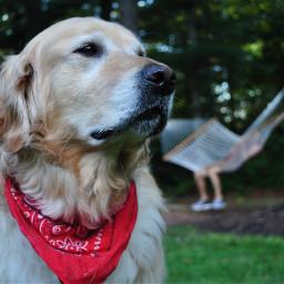 goldenretriever puppy dog outside