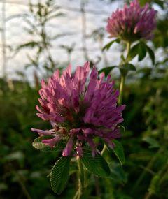 bloom flowerphotography nature clover sunlight
